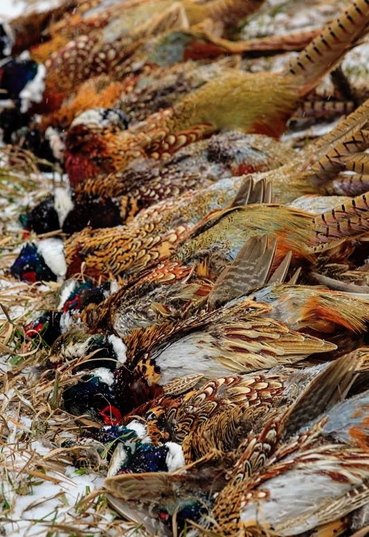 Pheasant Hunting Packages